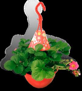 aardbeienplant-22cm-hangpot-productfoto-rood-donkerroze_SHADOW