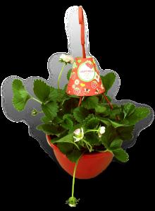 aardbeienplant-22cm-hangpot-roze-productfoto_SHADOW