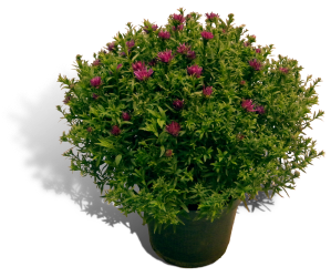 aster-17cm-pot-productfoto_SHADOW