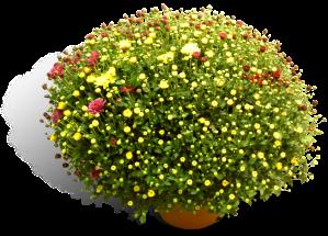 bolchrysant-quatro-21cm-productfoto