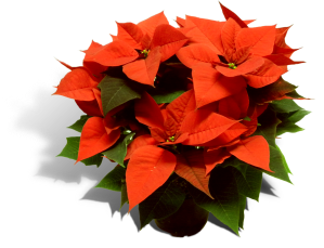 poinsettia-17cm-pot-productfoto